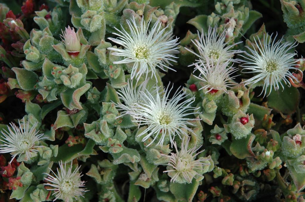 14989a3b41873 Mesembryanthemum crystallinum L. - HUAL