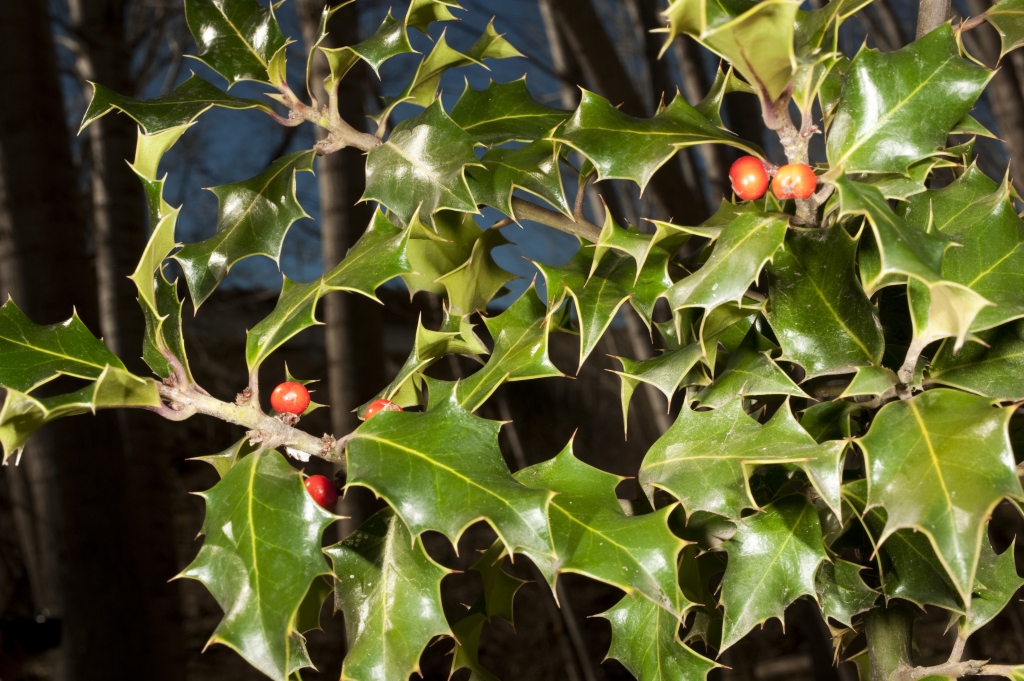 4d2a52b214572 La Navidad tiene los colores del Acebo - HUAL