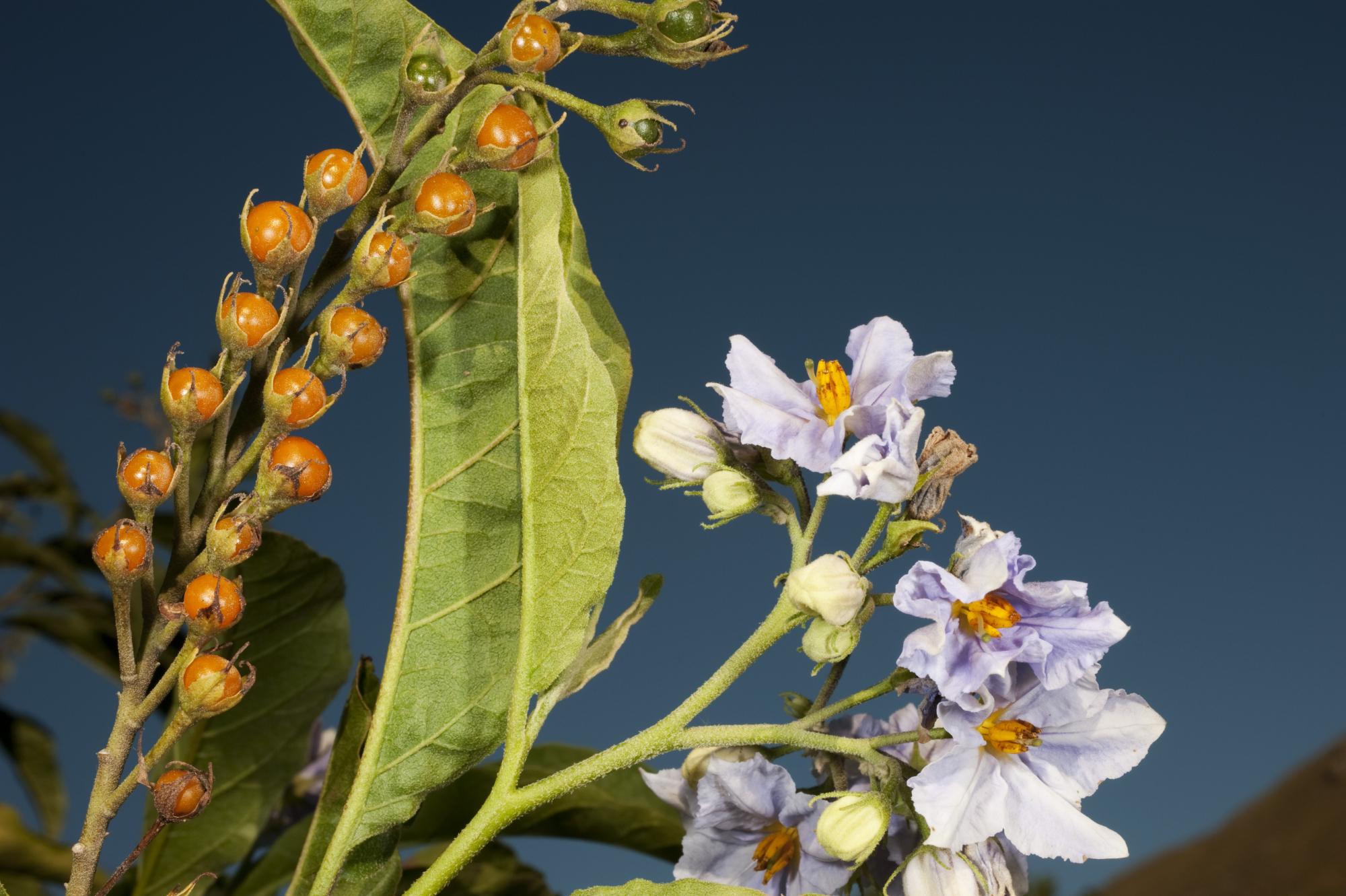 42f65d5df7d1f Solanum bonariense L. - HUAL