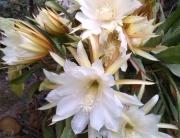 43a782fff47eb Pluma de Santa Teresa o Cactus de las orquídeas (genero Epiphyllum)