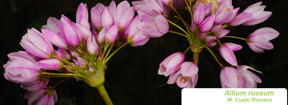 Allium-roseum_slide