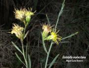 cd47e5cfa3244 BOINA DE VASCO (Farfugium japonicum) - HUAL