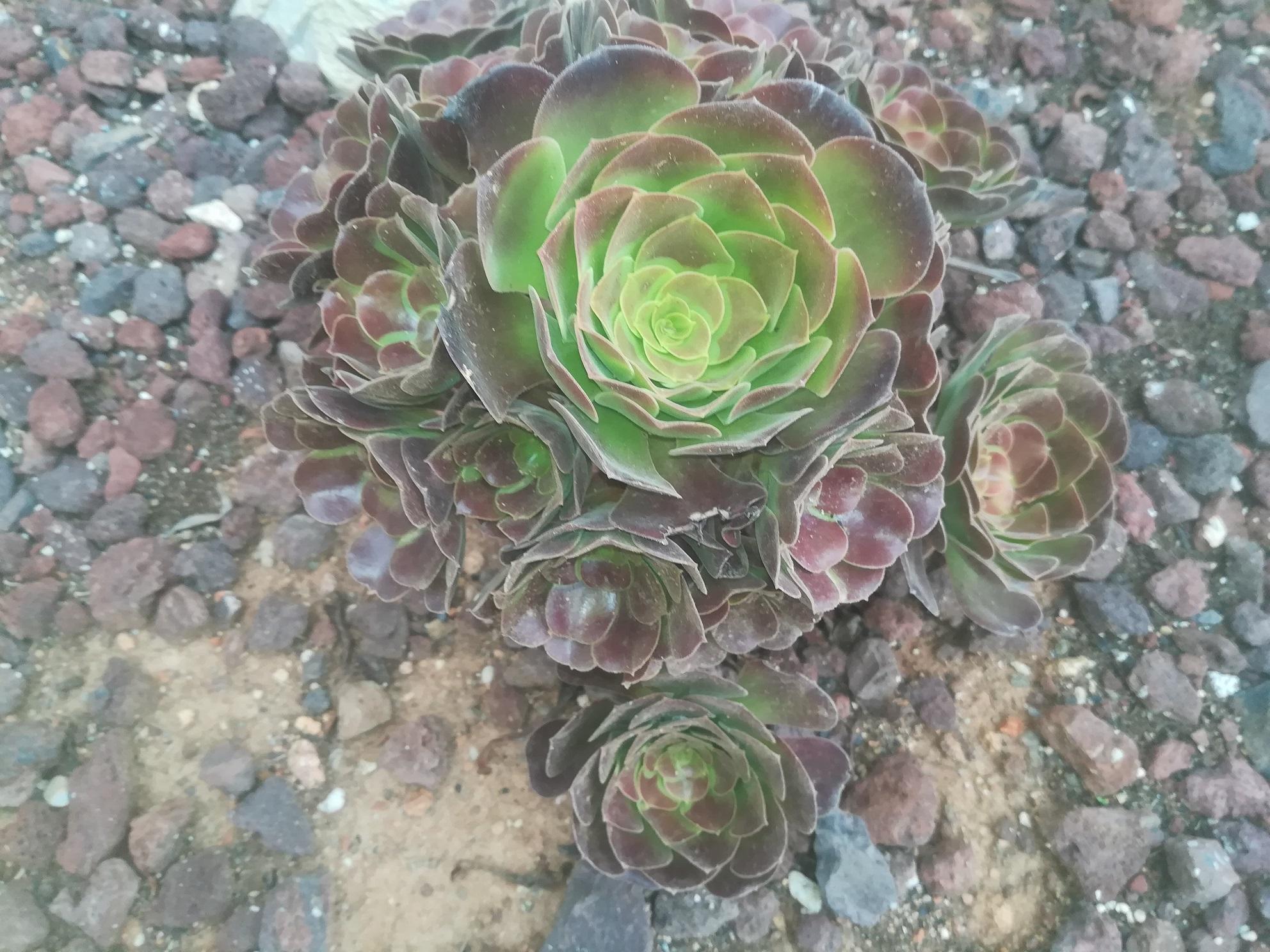 be9aba6385d26 Aeonium arboreum var. atropurpureum Velour - HUAL