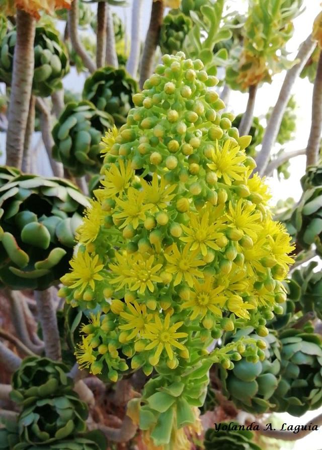 7644e5db13f1c Aeonium arboreum (L.) Webb   Berthelot